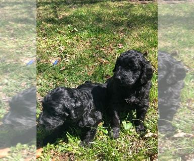 Goldendoodle-Poodle (Standard) Mix PUPPY FOR SALE ADN-129556 - F1b Goldendoodles