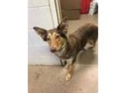 Adopt Missy* a Brown/Chocolate Australian Shepherd / Border Collie / Mixed dog