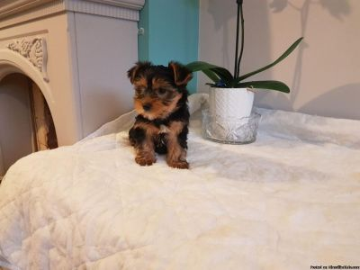 Attractive Yorkie Puppies