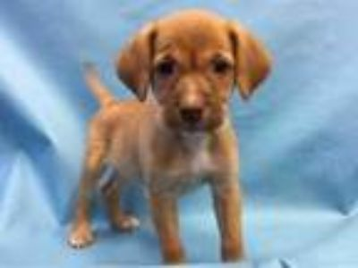 Adopt Zero a Red/Golden/Orange/Chestnut Hound (Unknown Type) / Mixed dog in