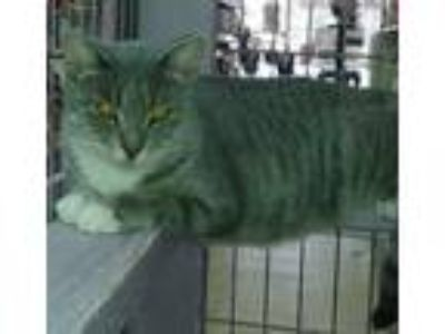 Adopt Tawnia a Gray, Blue or Silver Tabby Domestic Shorthair (short coat) cat in