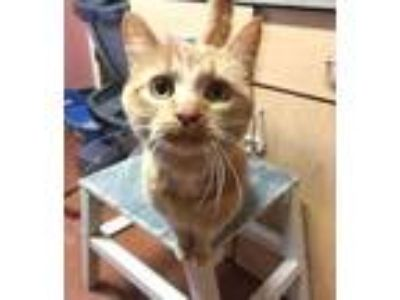 Adopt Pascal a Orange or Red Domestic Shorthair / Domestic Shorthair / Mixed cat