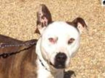Adopt Cotton a Pit Bull Terrier