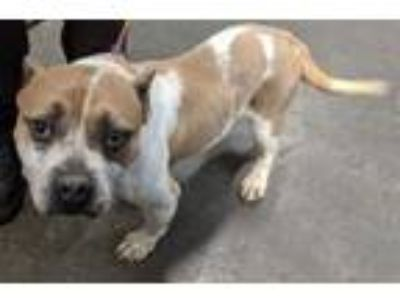 Adopt Muffins HW(-) a Pit Bull Terrier