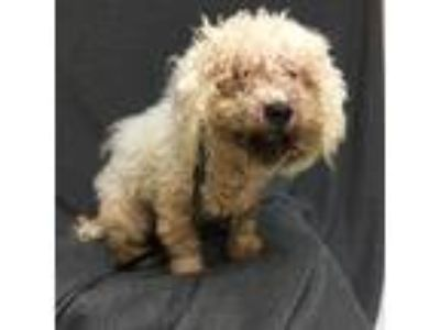 Adopt Handsome a White Bichon Frise / Mixed dog in Tampa, FL (25584316)