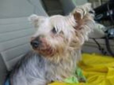 Adopt 42010058 - Available 6/28 a Yorkshire Terrier