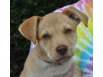 Adopt Ember a Tan/Yellow/Fawn - with White Labrador Retriever / Mixed dog in