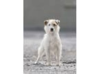 Adopt Jack a Jack Russell Terrier, Terrier