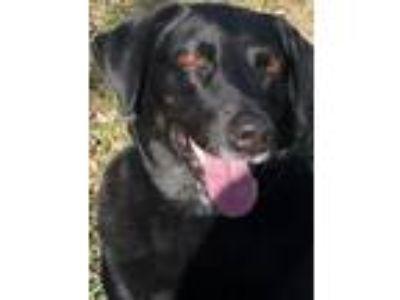 Adopt Sara a Black Labrador Retriever / Mixed dog in Denton, TX (23858676)