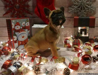 French bulldog for the upcoming christmas