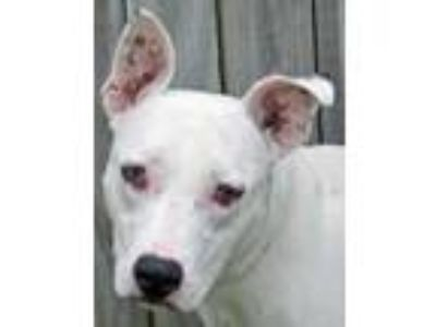 Adopt Duncan a White Bull Terrier / Mixed dog in Englewood, FL (24245346)