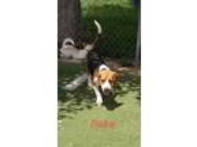Adopt Duke a Brown/Chocolate - with Black Beagle / Mixed dog in Ft Lupton