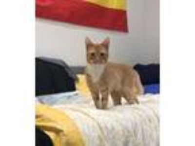 Adopt Pantone a Orange or Red (Mostly) American Shorthair / Mixed (short coat)