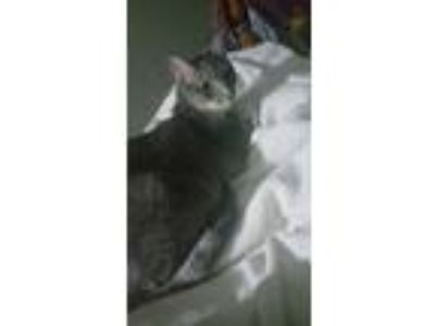 Adopt Lula a Gray, Blue or Silver Tabby Domestic Mediumhair / Mixed cat in Water