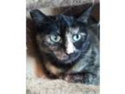 Adopt Dorothy a All Black Domestic Shorthair / Domestic Shorthair / Mixed cat in