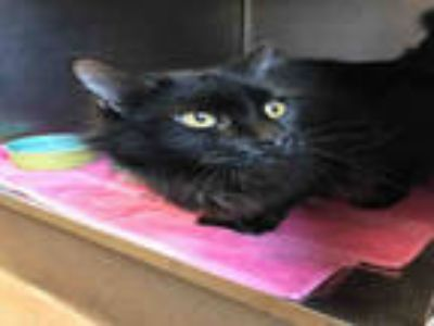Adopt SHADOW a All Black Domestic Longhair / Mixed (long coat) cat in Murray