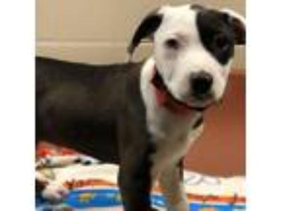 Adopt Patch a Gray/Blue/Silver/Salt & Pepper Collie / Mixed dog in Milwaukee