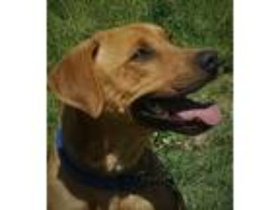 Adopt Briar a Tan/Yellow/Fawn American Pit Bull Terrier / Hound (Unknown Type) /