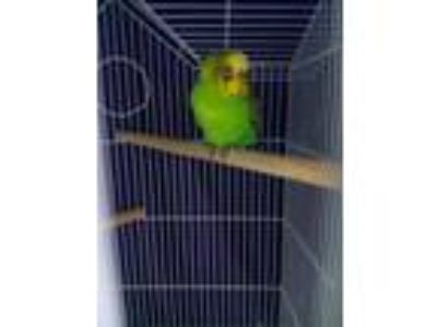 Adopt Taylor a Green Parakeet - Other / Mixed bird in Washington, DC (25812178)