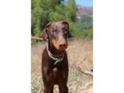 Adopt Obi a Brown/Chocolate - with Tan Doberman Pinscher / Mixed dog in