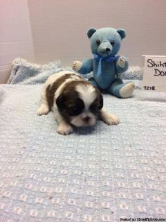 Shih tzu puppies, beautiful color!