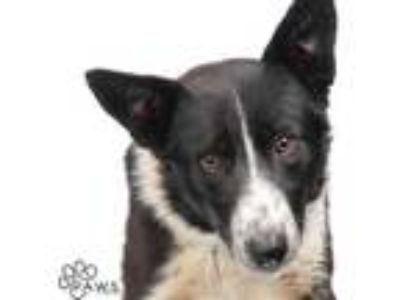 Adopt Mackey a Black Border Collie / Mixed dog in Tinley Park, IL (25346596)