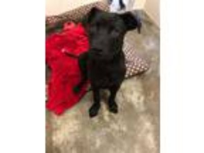 Adopt Chick-a-Dee a Labrador Retriever, Mixed Breed