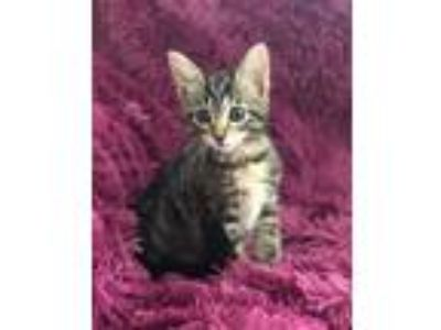 Adopt RIZZO - WE GO TOGETHER!! a Brown Tabby Domestic Shorthair (short coat) cat