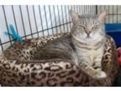 Adopt Major Tom (FCID# 03/05/2019 - 111) a Domestic Short Hair, Tabby