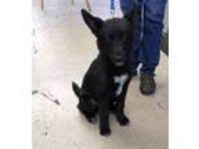 Adopt Shadow a Black - with White Collie / Shepherd (Unknown Type) / Mixed dog