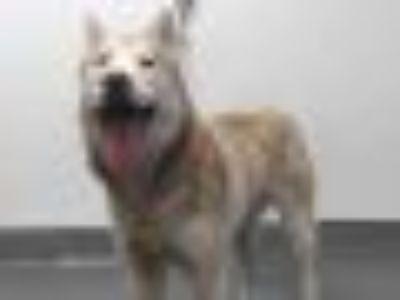 19-07930 Husky Dog