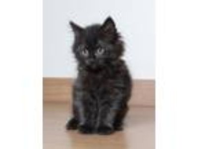 Adopt Blackberry Jam C190144 a Domestic Long Hair
