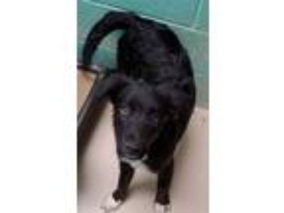 Adopt Mugzy a Border Collie, Labrador Retriever