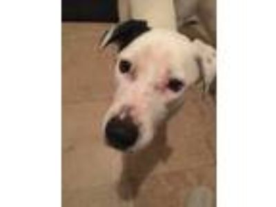Adopt Oslo a White - with Black Labrador Retriever / Pointer / Mixed dog in