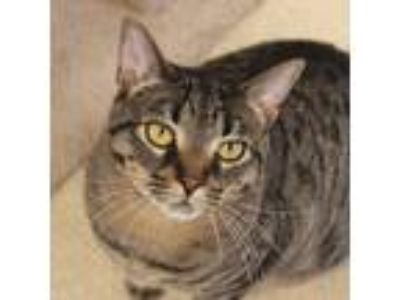 Adopt Upendi a Gray, Blue or Silver Tabby Domestic Shorthair (short coat) cat in