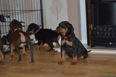 Two Doberman Pinscher Pups