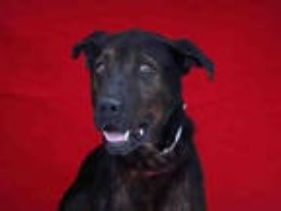 Adopt PAPA a Black Labrador Retriever / German Shepherd Dog / Mixed dog in