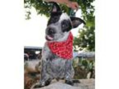 Adopt Spots MF a White - with Black Australian Cattle Dog / Pointer / Mixed dog