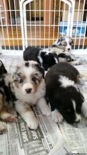 Australian Blue Merle Shepherd pups
