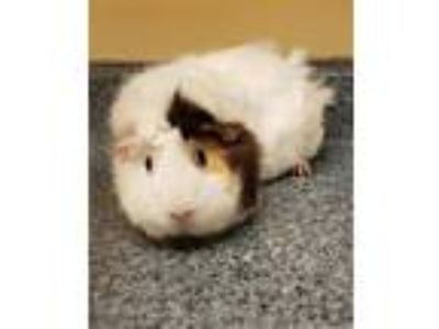 Adopt Gretal a Guinea Pig small animal in Sterling Heights, MI (25258738)