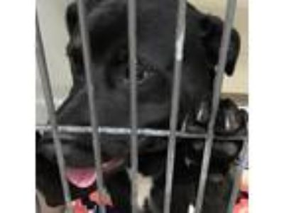 Adopt Zion a Black Retriever (Unknown Type) / Pit Bull Terrier dog in Knoxville
