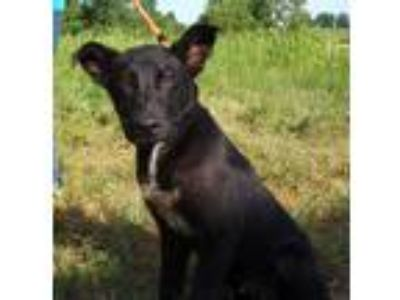 Adopt Haystack a Black - with White Labrador Retriever / Mixed Breed (Medium)