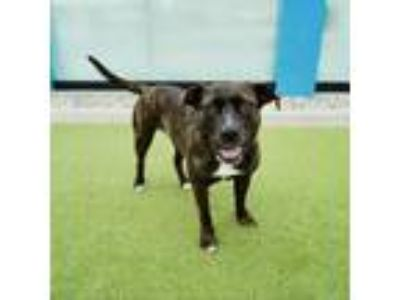 Adopt Midnight a Brindle Shepherd (Unknown Type) dog in Culver City