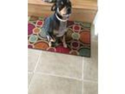 Adopt Kingston a Black - with Tan, Yellow or Fawn Miniature Pinscher dog in