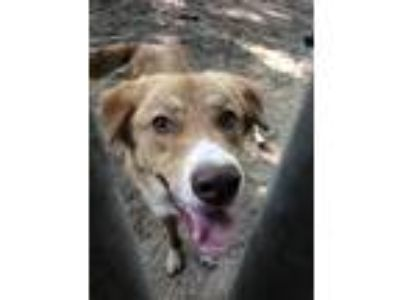 Adopt Roscoe a Tan/Yellow/Fawn Great Pyrenees / Golden Retriever / Mixed dog in