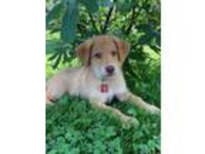 Adopt Soccer Pup Alex a Shepherd (Unknown Type) / Husky / Mixed dog in Potomac
