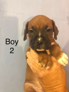 Boxer PUPPY FOR SALE ADN-103630 - Boxer puppies