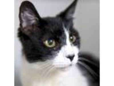 Adopt Irma (mcas) a Domestic Shorthair / Mixed (short coat) cat in Troutdale