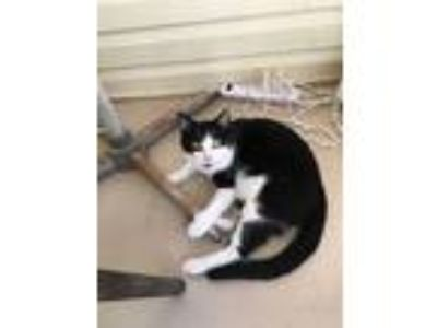 Adopt Fred a Domestic Short Hair