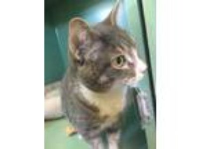Adopt Mittens a Gray or Blue Domestic Shorthair / Domestic Shorthair / Mixed cat